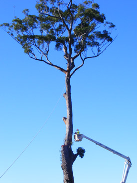 Professional Tree Lopping by Skyline Trees